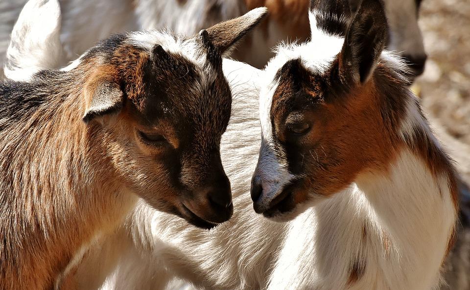 koza koze